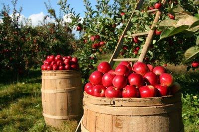 two barrels in orchard