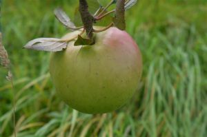 White Moss – cider apple. Photo by Mark Jenkinson