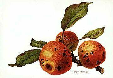 cider apple