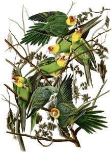 Carolina parakeet, eastern subspecies, Audubon