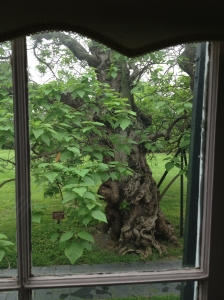 Whitman's catalpa tree from a parlor in Chatham Manor.
