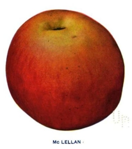 One of the heritage varieties planted in the new Piper Orchard was the McLellan, which has no connection to the Union's Commanding General at Antietam, George McClellan. Image from S.A. Beech, Apples of New York.
