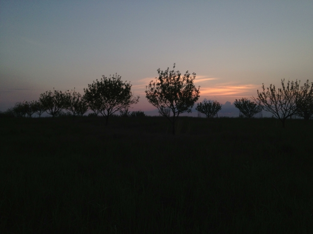 The new Piper Orchard at dawn, May 2013.