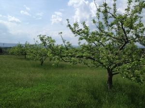 Heritage Apple Orchard at Belle Grove Plantation