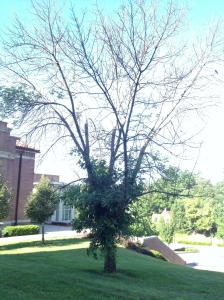 ash tree caldwell