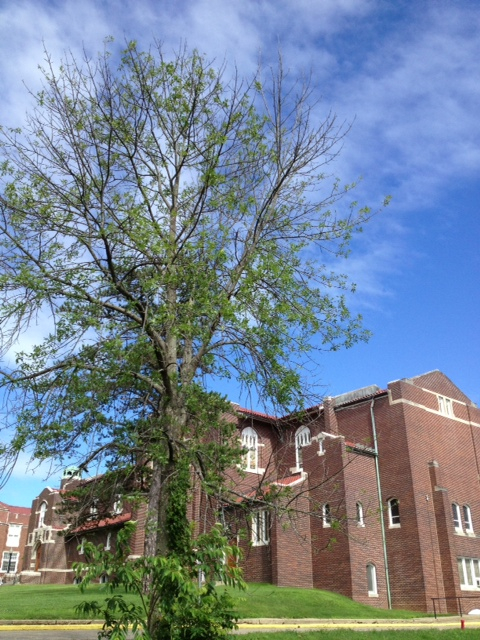 Another campus Ash Tree succumbing to the Emerald Ash Borer.
