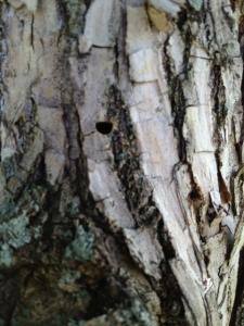 ash tree d hole