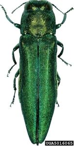 The Emerald Ash Borer is a strikingly beautiful murderer.