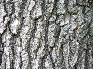 The bark of the Sweet Gum, sometimes called Alligator Wood.