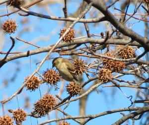 A nuthatch among the Sweet Gum balls.
