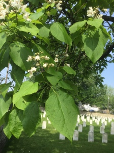 Southern Catalpa Tree in Camp Chase Cemetery